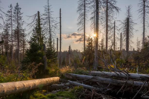 Dead coniferous forest, evening sun at the Oder pond, Harz National Park, Lower Saxony, Germany