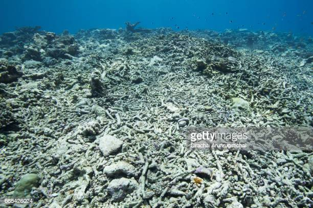 dead coral reefs in shallow water caused by mass bleacing - tod stock-fotos und bilder