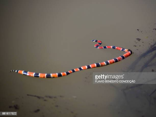 dead coral snake inside lake on farm - coral snake stock pictures, royalty-free photos & images