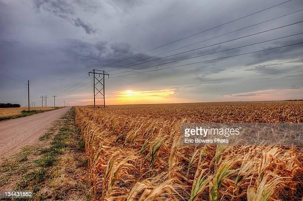 Dead Corn in drought