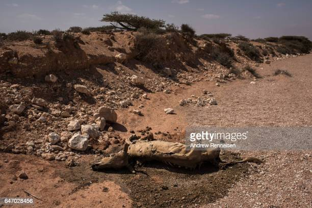 A dead cow sits just outside an IDP camp on February 24 2017 in Karin Sarmayo Somalia Brief rains brought an estimated 100000 people to the region in...