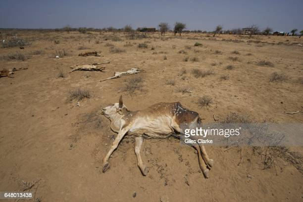 Dead cows at the UN aid relief camp at Bandadero village near Moyale North Kenya Last week the Kenyan government declared the region a 'National...