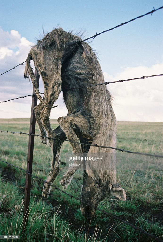 Dead Coyote Caught on Barbed Wire Fence : Stock Photo