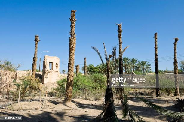 dead date palm tree in grove, al-mudairib, oman - arid stock pictures, royalty-free photos & images
