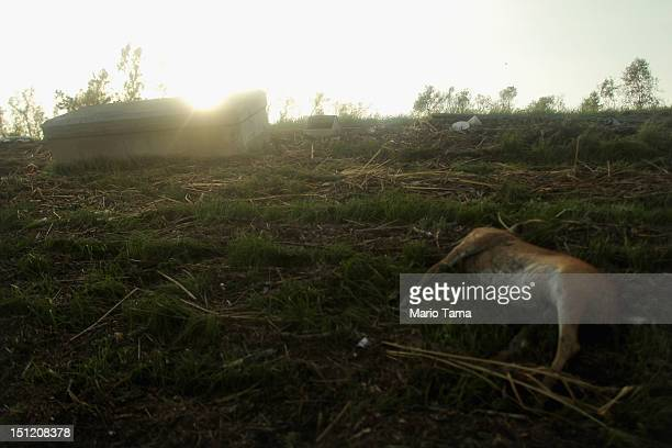 A dead dear and casket are washed up onto the side of a levee from Hurricane Isaac flooding in Plaquemines Parish on September 3 2012 in Braithwaite...