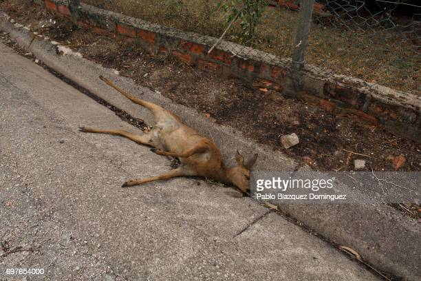 A dead dear lays on the side of a road after a wildfire took dozens of lives on June 19 2017 near Castanheira de Pera in Leiria district Portugal On...
