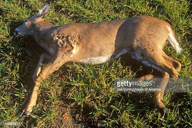 Dead Deer hit by car NY