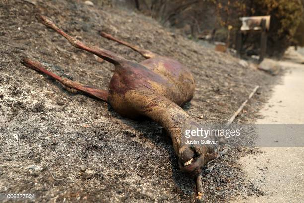 A dead deer lays in front of a home that was destroyed by the Carr Fire on July 27 2018 in Redding California A Redding firefighter and bulldozer...