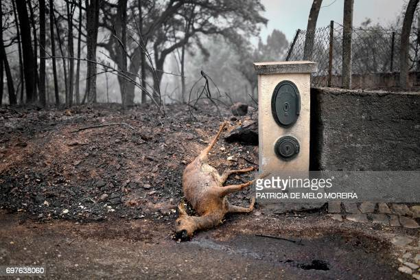 TOPSHOT A dead deer lays on the roadside in an area affected by a wildfire at Vila Pedro Figueiro dos Vinhos on June 19 2017 More than 1000...