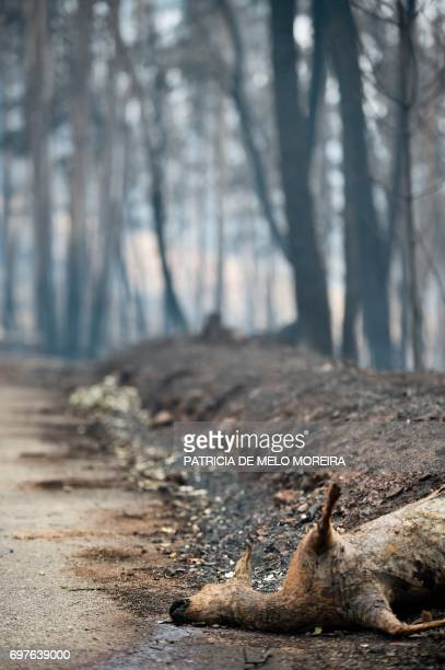 Dead deer lays on the roadside in an area affected by a wildfire at Vila Pedro, Figueiro dos Vinhos on June 19, 2017. More than 1,000 firefighters...