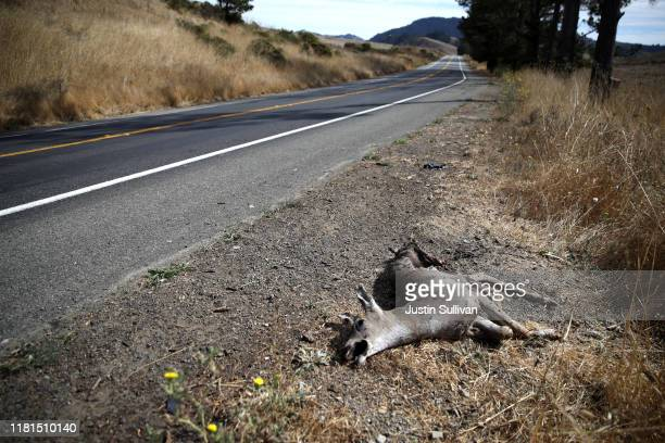 A dead deer lays on the side of the road on October 16 2019 in Nicasio California California Gov Gavin Newsom signed senate bill 395 into law that...