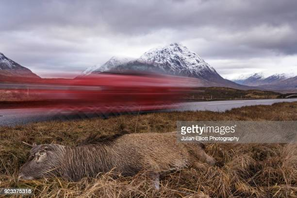 a dead deer lies by the side of the a82 on rannoch moor. - deer stock pictures, royalty-free photos & images