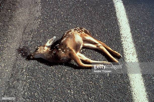 dead deer on asphalt - dead deer stock photos and pictures