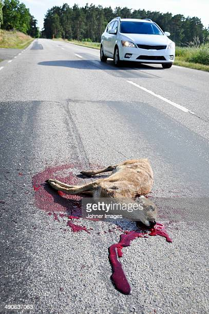 dead deer on road, sweden - roadkill stock photos and pictures