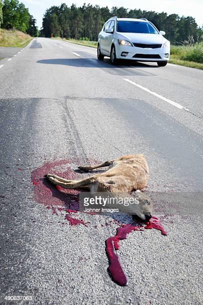 dead deer on road, sweden - dead deer stock photos and pictures