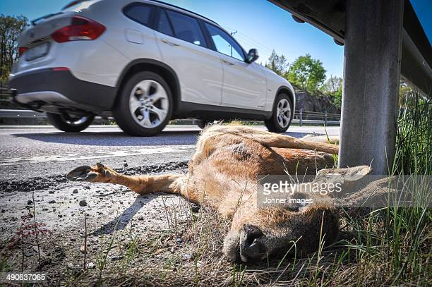 dead deer on side of road, close-up - dead deer stock photos and pictures