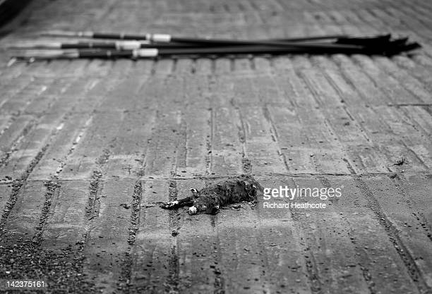 A dead dog is washed up on the slipway next to the oars of the Oxford crew before a training outing on the River Thames ahead of the 2012 Xchanging...