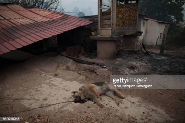 A dead dog lays on the ground next to burnt houses in the village of Vila Nova near Vouzela on October 16 2017 in Viseu region Portugal At least 30...