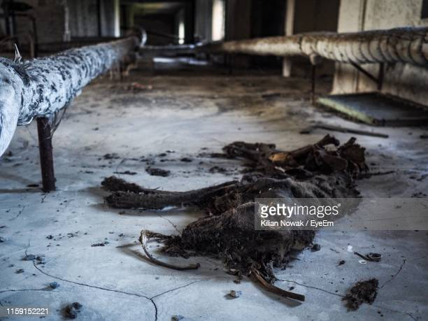 dead dog on floor - chernobyl stock pictures, royalty-free photos & images