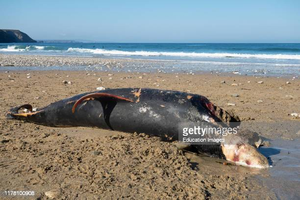Dead dolphin washed up on the beach at porthtowan, Cornwall, England, uk.