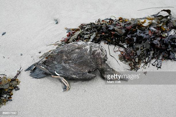 a dead duck on a beach - oil spill stock pictures, royalty-free photos & images
