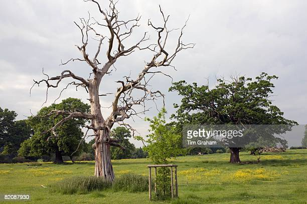 Dead Elm tree besides a newly planted sapling in Sherbourne Gloucestershire United Kingdom