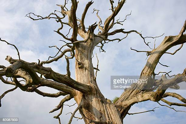 Dead Elm tree in Sherbourne Gloucestershire United Kingdom