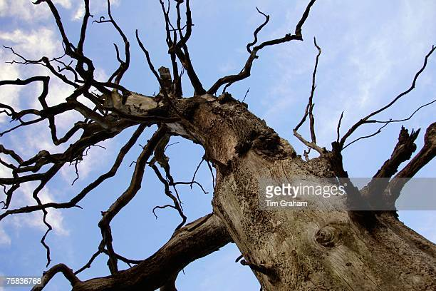 Dead Elm tree Sherbourne Gloucestershire United Kingdom