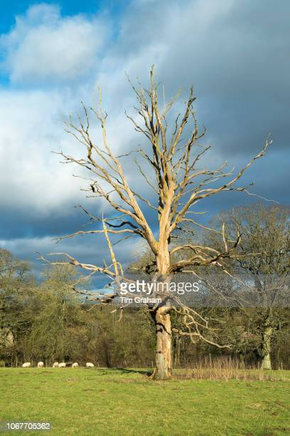 Dead elm tree with bare branches Ulmus a likely victim of Dutch Elm Disease in the Cotswolds Oxfordshire UK