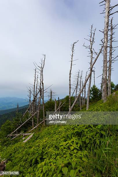 dead evergreen trees, clingmans dome - clingman's dome stock photos and pictures