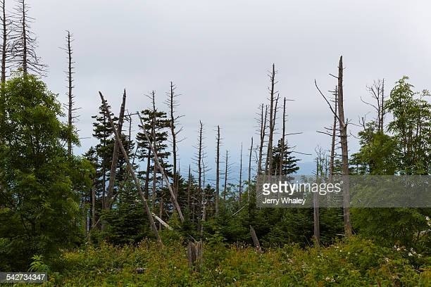 dead evergreen trees, clingmans dome - clingman's dome - fotografias e filmes do acervo