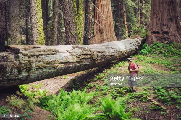 dead, fallen giant sequoia tree in a dense sequoia national park forest. dead, fallen giant sequoia tree in a dense sequoia national park forest - fallen tree stock pictures, royalty-free photos & images