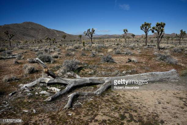 A dead fallen Joshua tree decomposes on the ground in Joshua Tree National Park in California