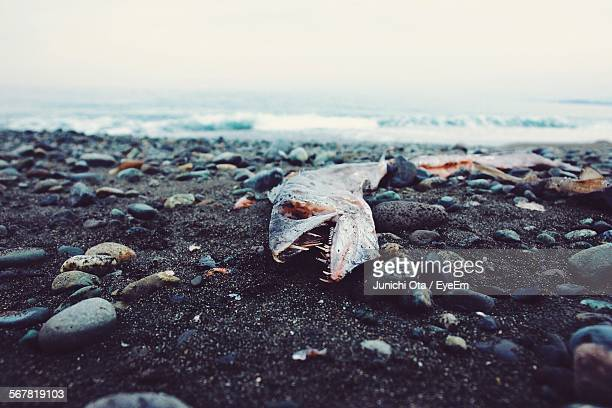 Dead Fish And Pebbles At Beach