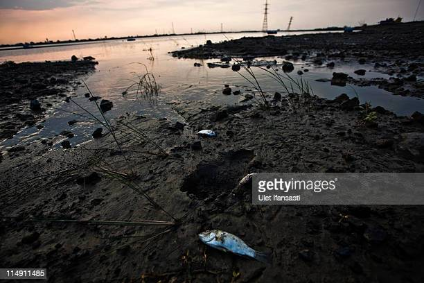 Dead fish are seen near the Sidoarjo mud flow on May 28 2011 in the subdistrict of Porong in Sidoarjo East Java Indonesia Australian experts have...