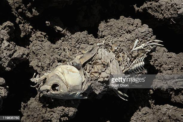Dead fish decays on the dry bed of O.C. Fisher Lake on July 25, 2011 in San Angelo, Texas. The 5,440 acre lake which was established to provide flood...