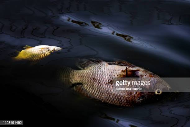 dead fish environmental problems . oil and other trash on river . - oil spill stock pictures, royalty-free photos & images