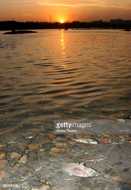Dead fish float on the polluted Songhua River caused by raw sewage emitted after an explosion at Jilin Petroleum and Chemical Company nearby on...