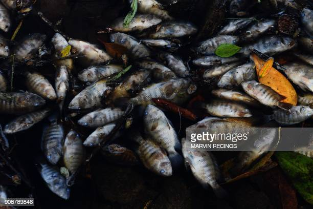 TOPSHOT Dead fish float on the polluted waters of the Lempa river in the village of Pinuelas 430km west of Tegucigalpa on January 20 2018 Thousands...