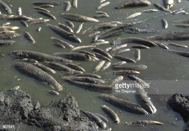Dead fish float to the surface of a water conservation area because of dwindled water supplies from a drought May 1 2001 north of the Tamiami Trail...
