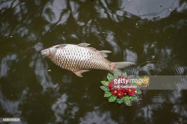 Dead fish floats next to a krathong in Chiang Mai's moat, one day after the Loy Krathong Festival in Chiang Mai. Every year, about 600 tons of...