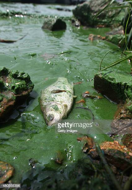 A dead fish flows at south coast of outer lake of Dianchi Lake polluted by bluegreen algae on July 12 2015 in Kunming Yunnan Province of China It's a...