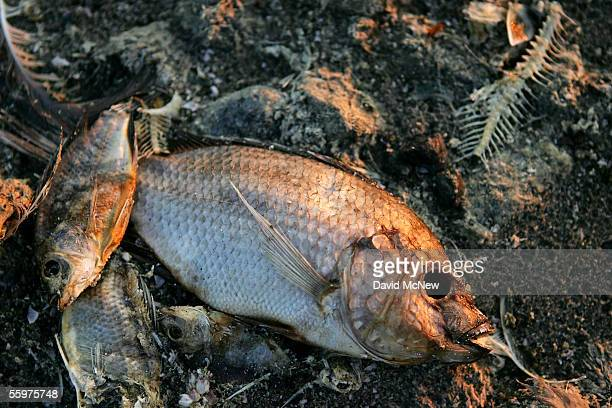 Dead fish from a recent fish dieoff lie on the beach at dawn on October 20 2005 in Salton City California As many as 10 million fish per month can...