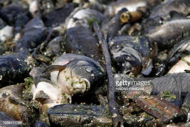 Dead fish from nearby farms float on the Euphrates river near the town of Sadat al Hindiya north of the central Iraqi city of Hilla on November 2...