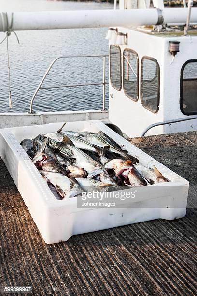 Dead fish in container