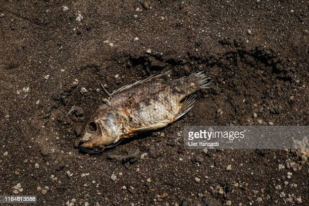 A dead fish is seen in a partially dried up section of the Gajah Mungkur reservoir on August 28 2019 in Wonogiri Central Java province Indonesia...