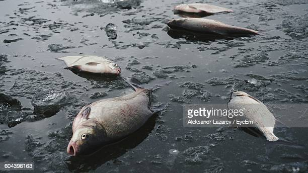 dead fish on frozen lake during winter - 死 ストックフォトと画像