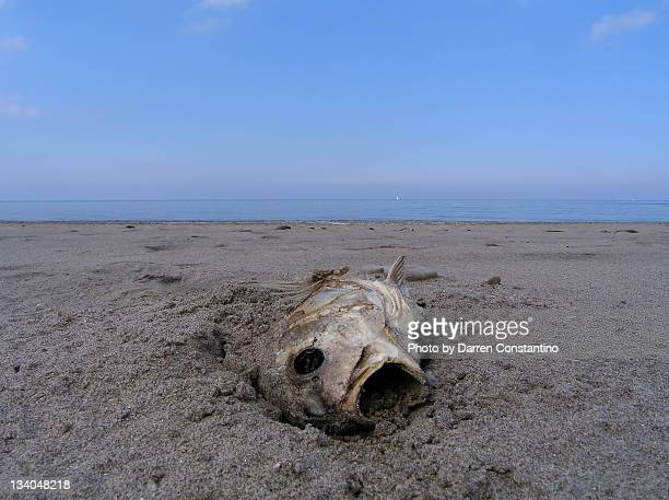dead fish on lake erie shore - dead rotten fotografías e imágenes de stock