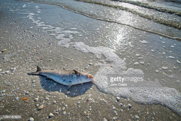 dead fish, red tide, gulf coast, florida - red tide stock pictures, royalty-free photos & images
