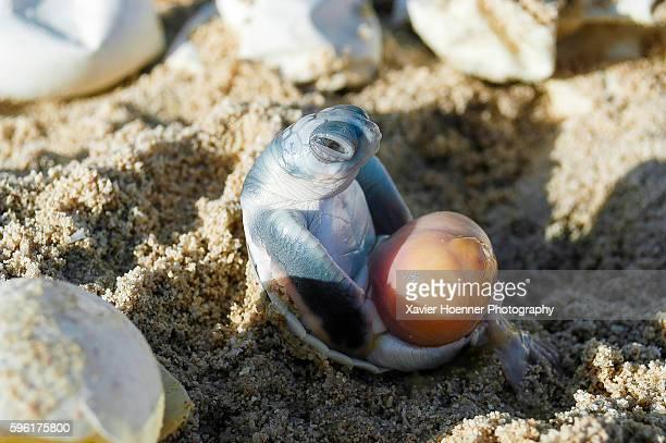 Dead flatback sea turtle